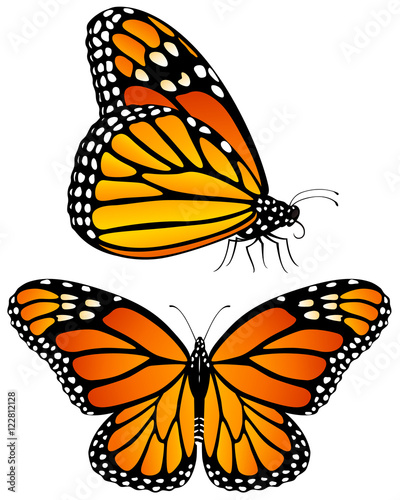 Vector illustration of monarch butterflies, both a side view and a top view. - 122812128