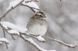 White-throated Sparrow (zonotrichia albicollis) in Snow