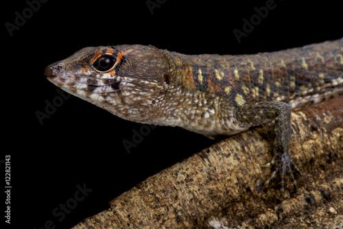 Foto op Plexiglas Krokodil Two faced water teju,Neusticurus bicarinatus,