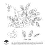 Outline drawing of branch of rowan on a white background. Autumn - 122821310