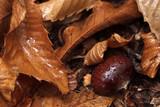 Castagna nelle foglie