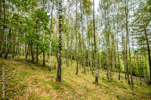 Early autumn forest, landscape, autumn birch trees with fallen l