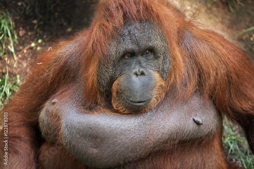 Foto op Canvas Aap Female Bornean Orangutan