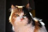 Calico cat close-up portrait over dark blurred background