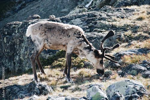 Poster Hiking in Norway, Besseggen in Jotunheimen - Reindeer