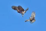Coopers Hawks fighting in midair