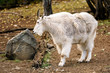 Mountain goat ( Oreamnos americanus ) in Yukon