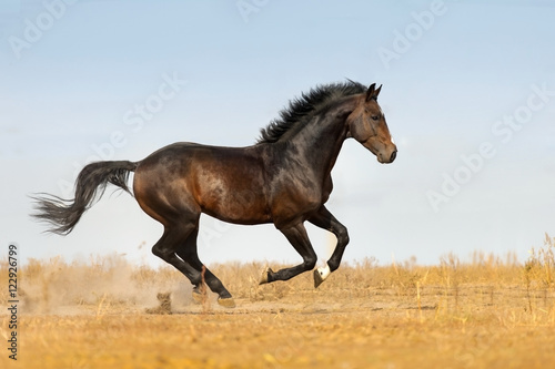 Bay beautiful stallion run gallop on pasture