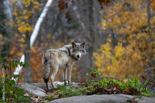 Fototapeta Timber wolf or Grey Wolf (Canis lupus) on top of a rock looks back on an autumn day in Canada
