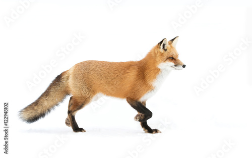 Red fox walking through the snow in winter in Algonquin Park - 122948102