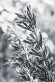 Dry seeds of  lupine monochrome