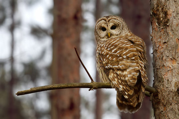 Barred Owl perched on a branch hunts for a meal