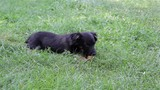 Puppy eats apple/small breed dog playing on grass chewing teeth apple