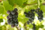Black Gprape Vine Leaves