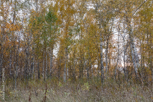 autumn forest of young birch trees