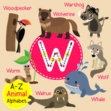 W letter tracing. Cute children zoo alphabet flash card. Funny cartoon animal. Kids abc education. Learning English vocabulary. Vector illustration. - 123004512