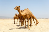 Camels at the beach of Salalah, Dhofar, Sultanate of Oman