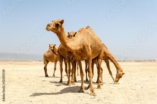 Fotobehang Kameel Camels at the beach of Salalah, Dhofar, Sultanate of Oman