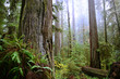 Coastal Redwoods in Jedediah Smith State Park