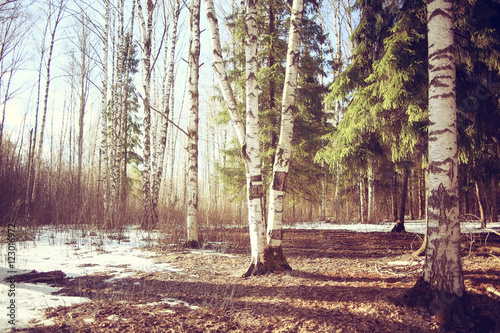 March landscape birch forest background