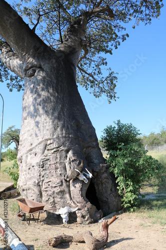 Fotobehang Baobab Thick trunk of baobab tree in Botswana, Africa