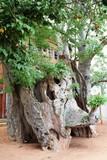 Old Baobab tree in Kasane, Botswana Africa