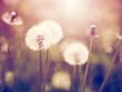 Vintage dandelions on meadow