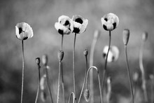 Schwarze und weiße Mohnblumen