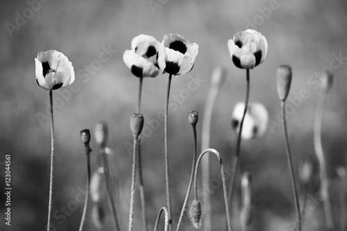 czarno-biale-kwiaty-maku