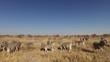 Herd of plains zebras (Equus burchelli) on the open plains of Etosha National Park, Namibia
