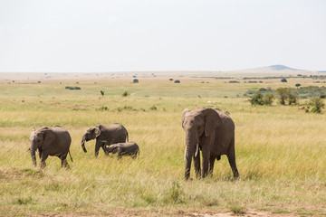 Elephants with a calf at the savannah