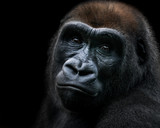 Western Lowland Gorilla IX