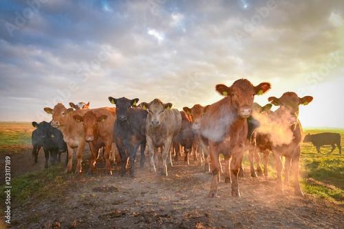 Rinderherde auf der Weide im Gegenlicht der aufgehenden Sonne, Atem  durch Kälte Poster