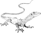 Vector lizard , hand painted drawing of outline isolated on white background