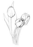 Tulips - 123155374