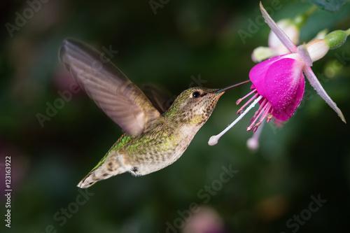 Hummingbird i królowa fuksja