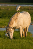 Free camargue horse with a bird on his back eating grass in the Isola della Cona reserve, Italy