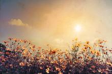 Jahrgang Landschaft Natur Hintergrund der schönen Kosmos Blume Feld am Himmel mit Sonnenlicht. Retro-Farbton Filterwirkung