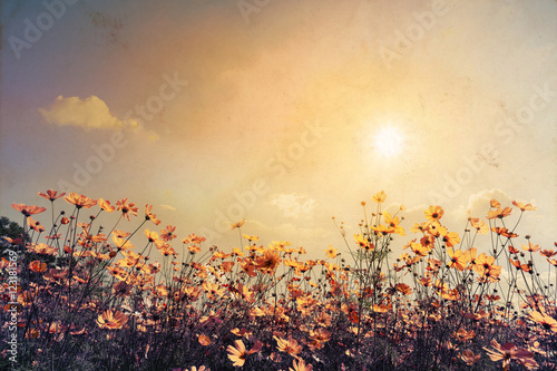 Vintage landscape nature background of beautiful cosmos flower field on sky with sunlight