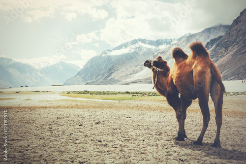 Double hump camel walking in the desert in Nubra Valley, Ladakh, India (Vintage tone) - 123192570