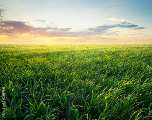 Fototapeta Grass on the field during sunrise. Agricultural landscape in the summer time