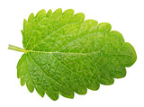 Green lemon balm leaf (Melissa officinalis) isolated on white background with clipping path - 123215964