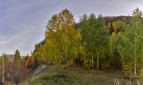 autumn birch forest.
