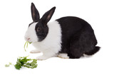 Dutch dwarf rabbit eating cilantro. Isolated on white background