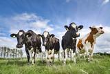 Vier Kühe auf einer Weide, kuriose Formation