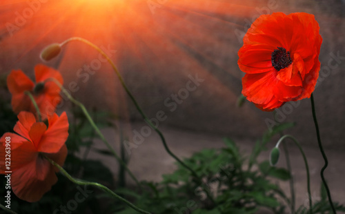 wild poppy flower in the sun. remembrance.