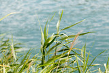 Green reeds on the river - 123271367