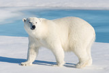 Polar Bear - 123279992