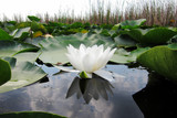 Blooming flower white water lily on a pond. (Nymphaea alba)