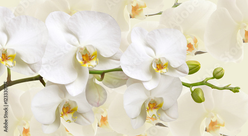 Fototapeta Large white Orchid flowers in a panoramic image